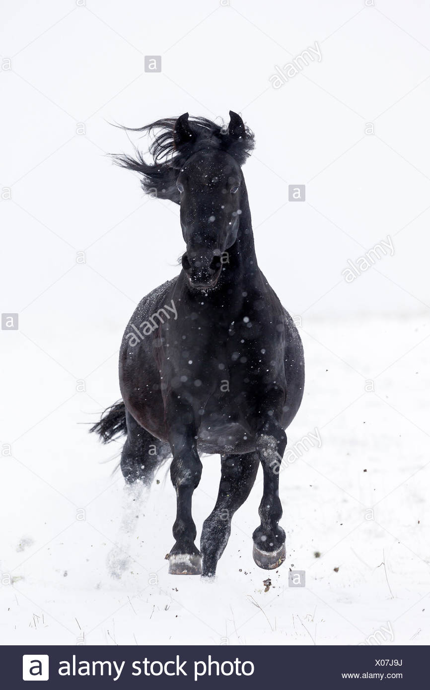 Murgese Horse, Murghese. Black gelding galloping on a snowy pasture. Germany - Stock Image