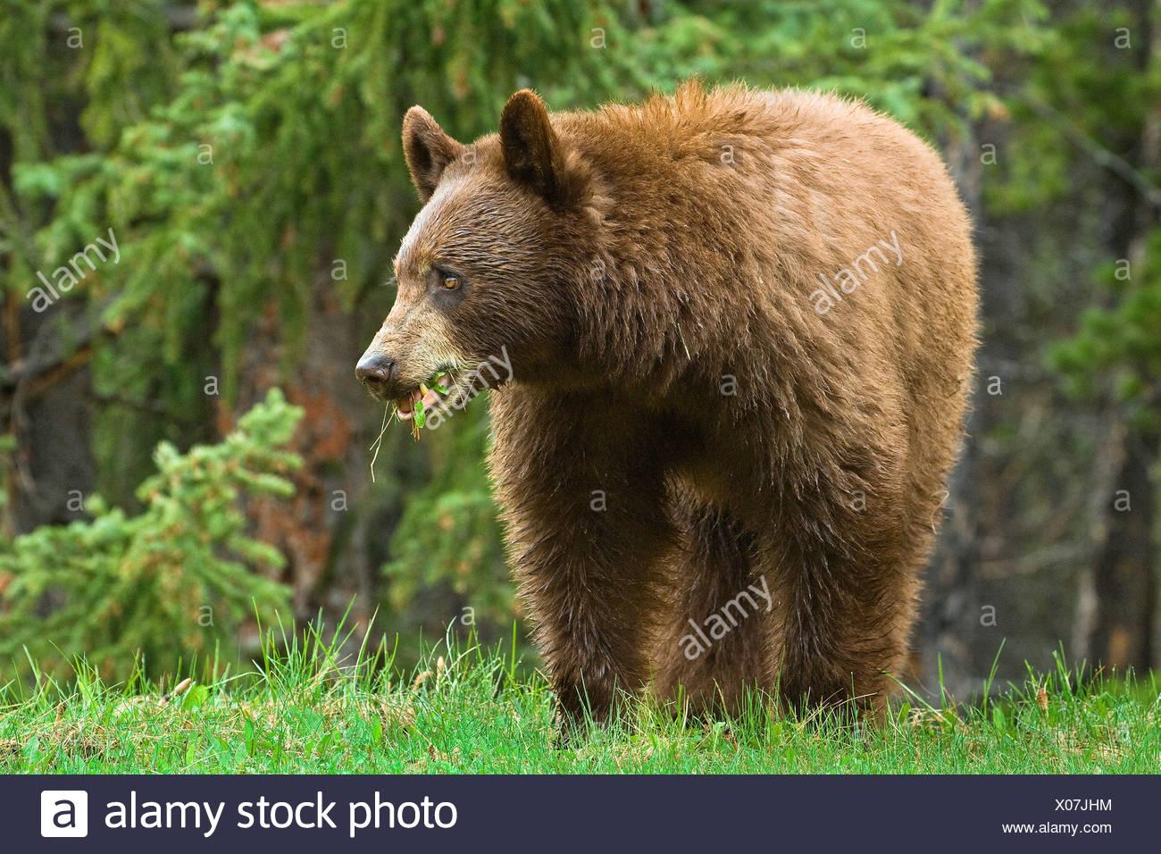 Cinnamon-coloured American black bear (Ursus americanus) grazing on roadside grasses and horestails Rocky Mountains western Albe - Stock Image