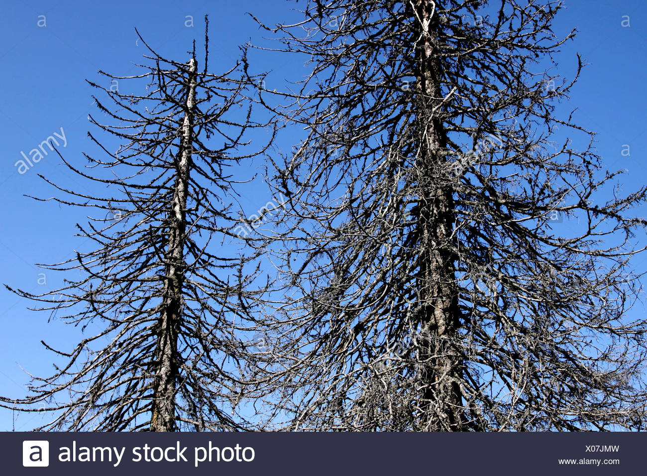 Dead spruces (Picea), Black Forest, Baden-Wuerttemberg, Germany, Europe - Stock Image