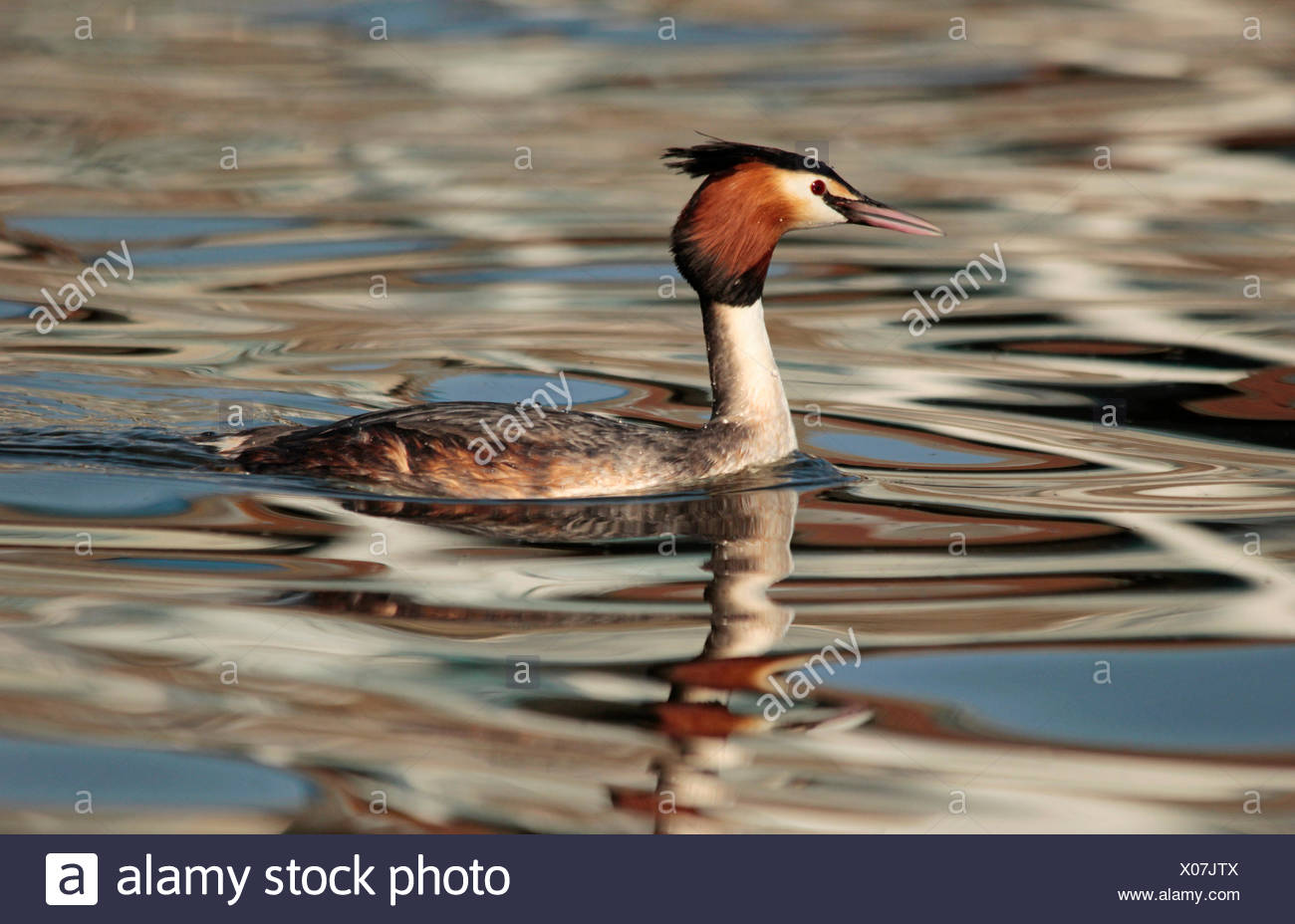 Great Crested Grebe swimming in an harbour. - Stock Image