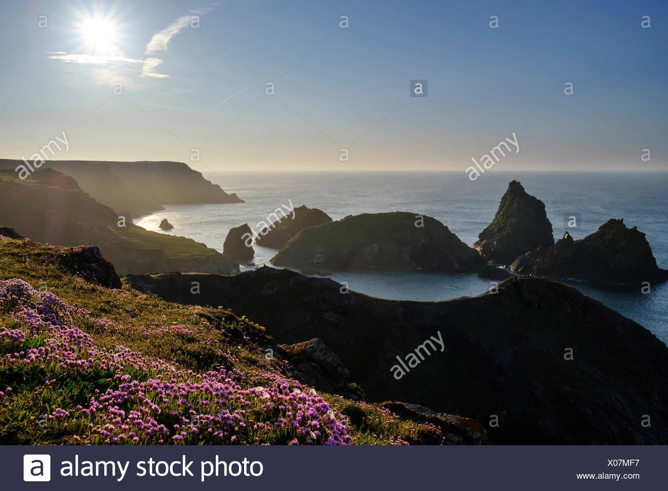 Strand-Grasnelke (Armeria maritima), Abendstimmung, Kynance Cove, Lizard-Halbinsel, Cornwall, England, Großbritannien - Stock Image