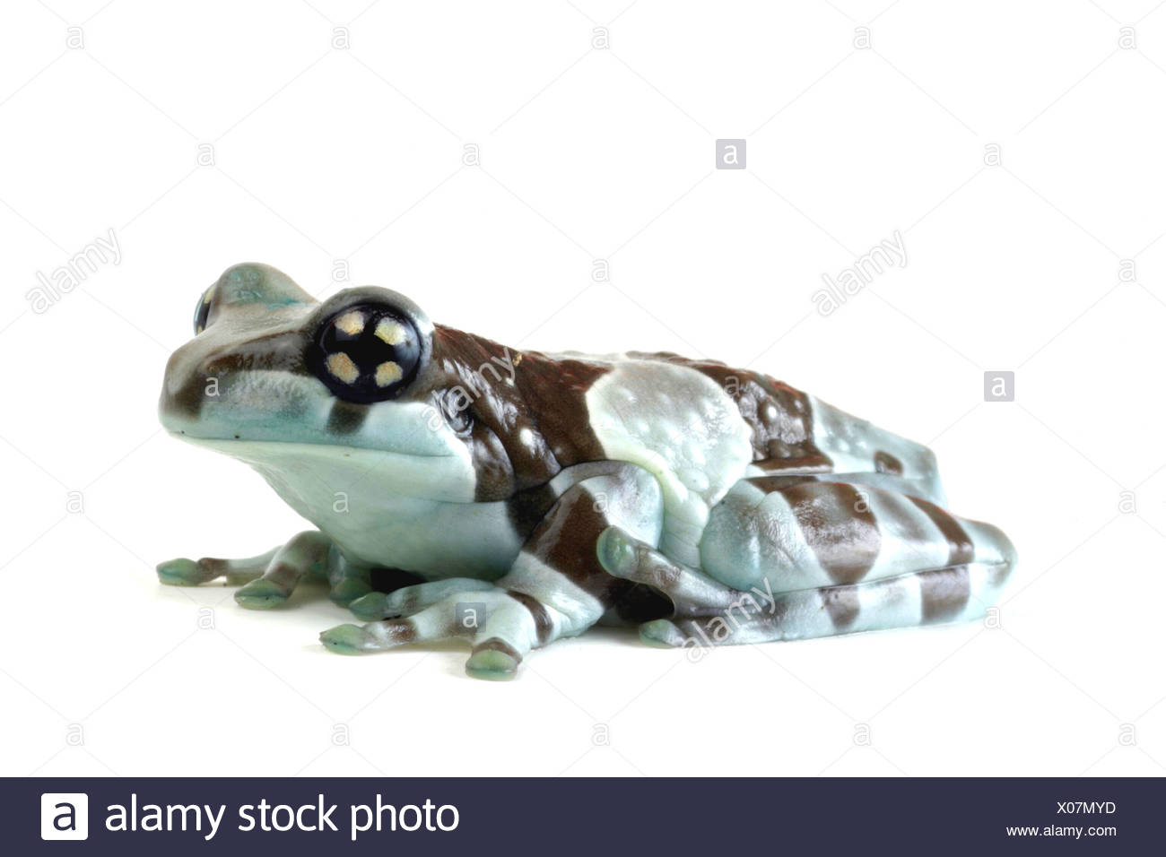 Amazonian canopy frog (Phrynohyas resinifictrix), side view Stock Photo