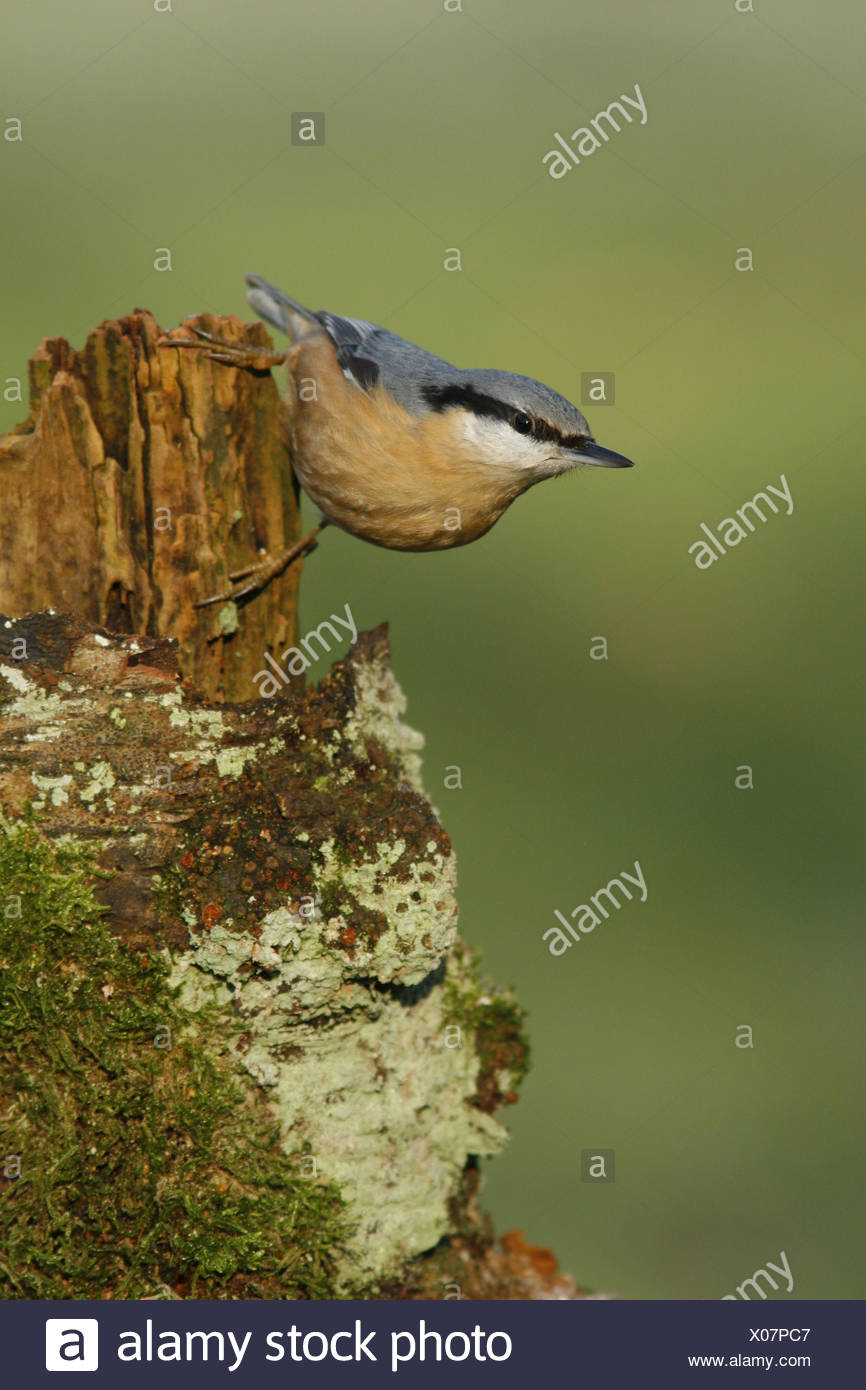 European nuthatch on birch stub covered with lichen and moss - Stock Image