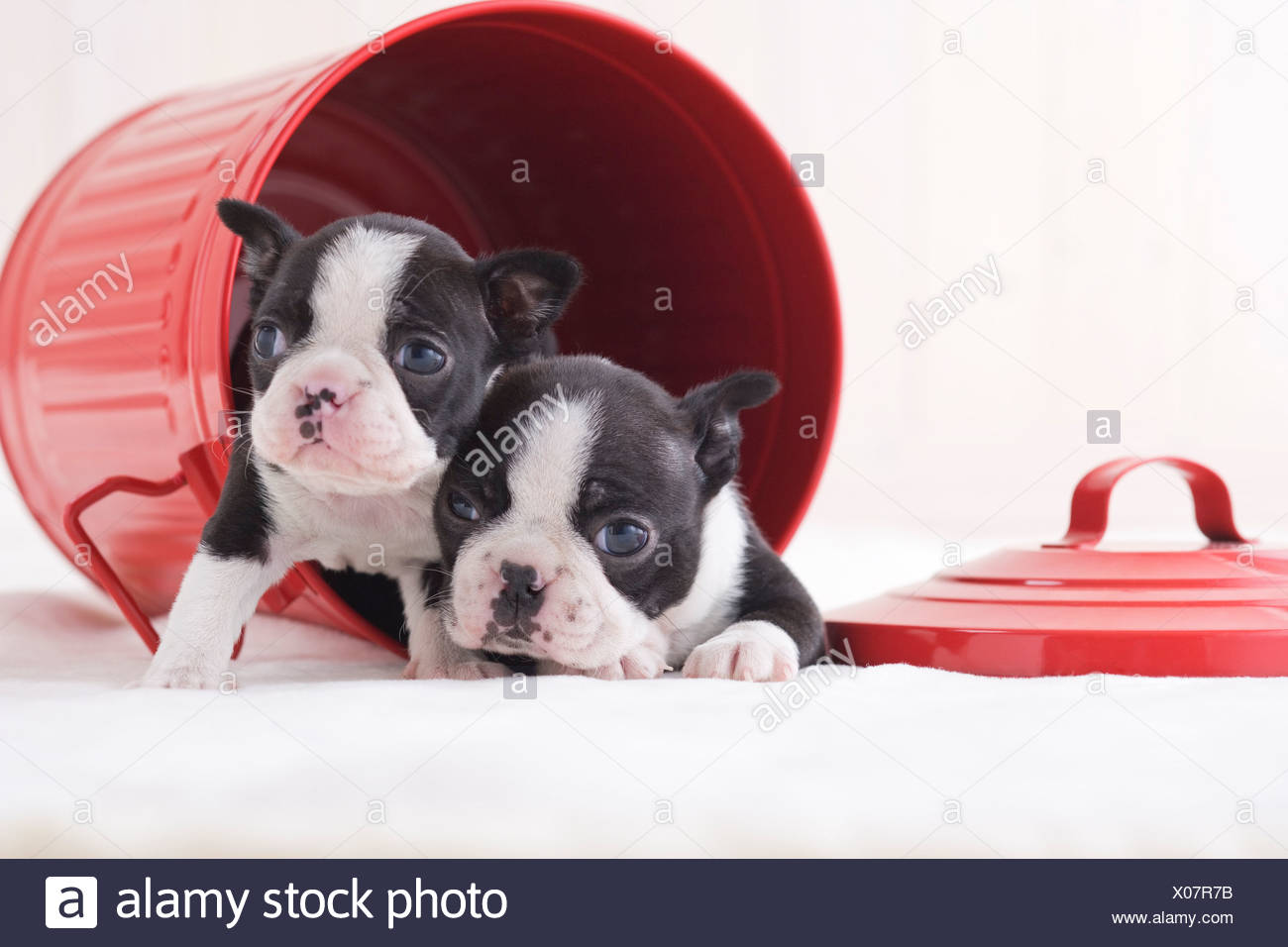 Two boston terrier fawning in a bucket - Stock Image