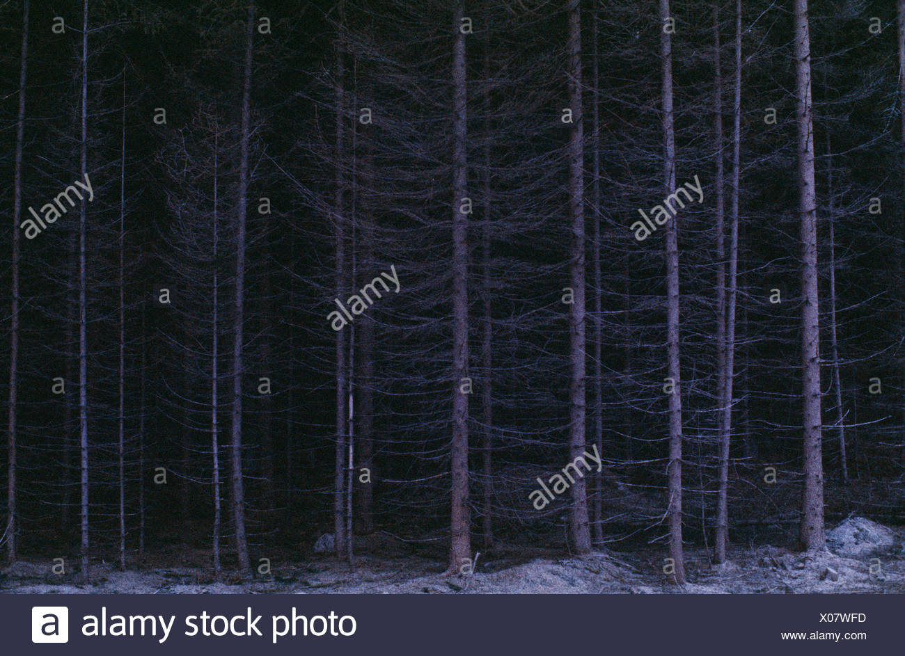 View of coniferous forest at night - Stock Image