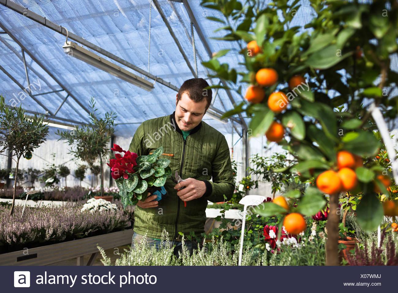 Gardener working in greenhouse Stock Photo