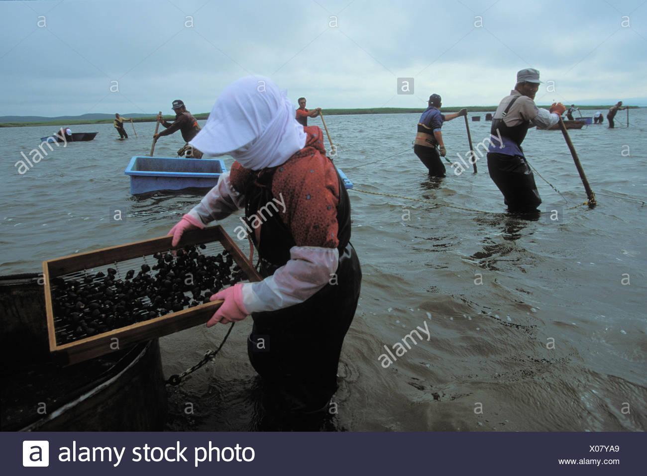 Clam havesting - Stock Image