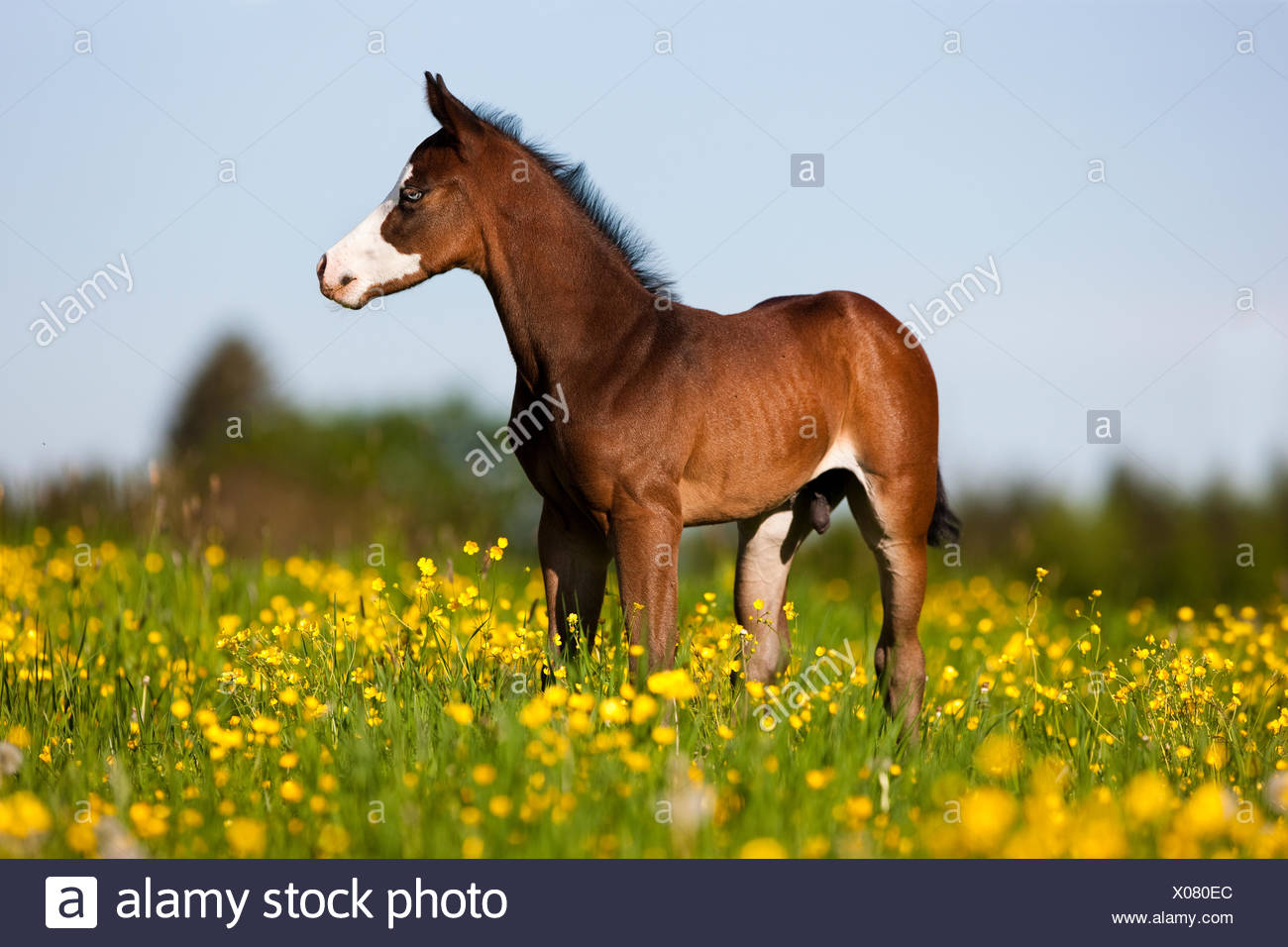 Paint Horse, bay horse, Foal stands in flower meadow - Stock Image