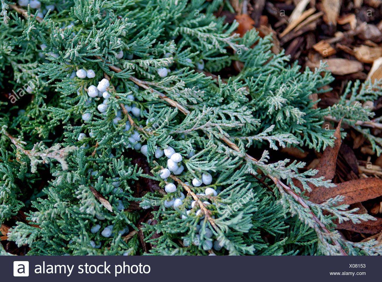 Wacholder Juniperus horizontalis /'Golden Carpet/'