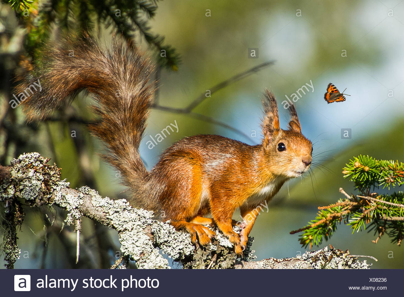Squirrel looking at flying butterfly - Stock Image