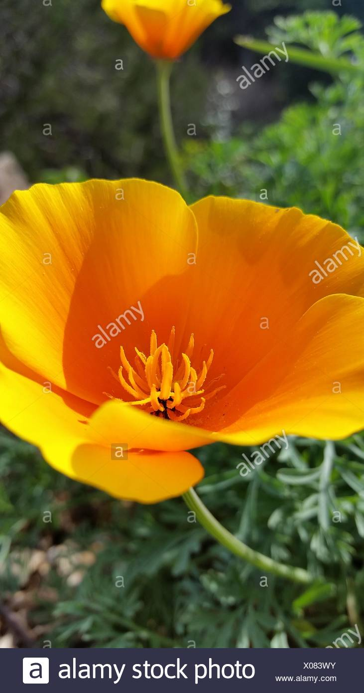 Calif state flower - Stock Image