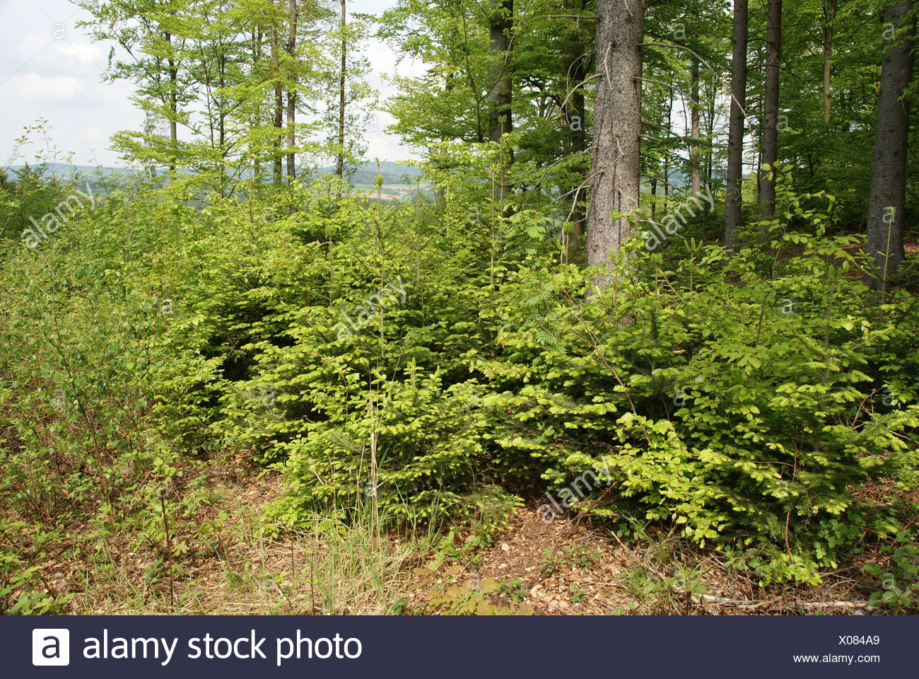 Abies alba, Tannen, firs - Stock Image