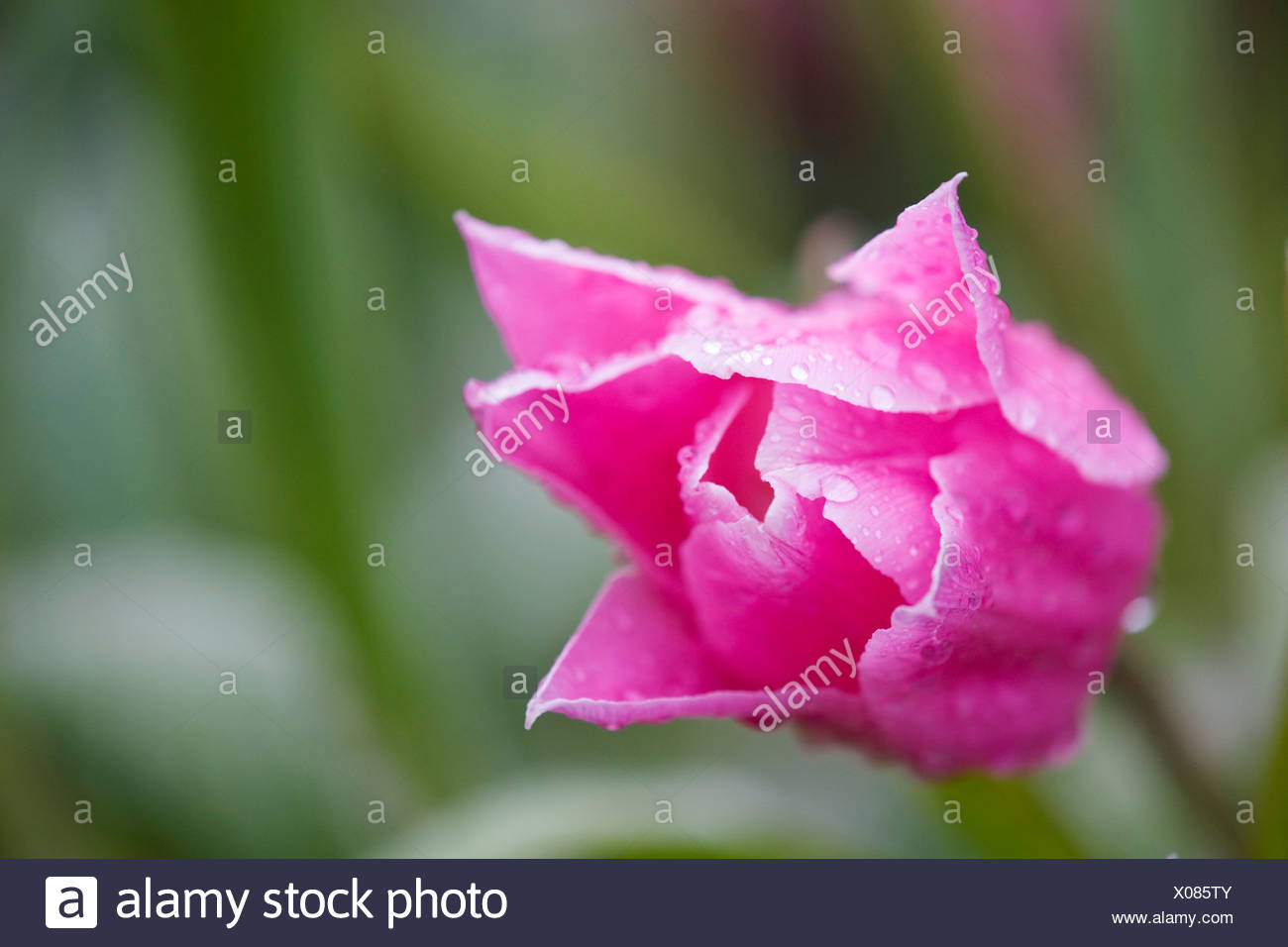 China Pink Flower Stock Photos China Pink Flower Stock Images Alamy