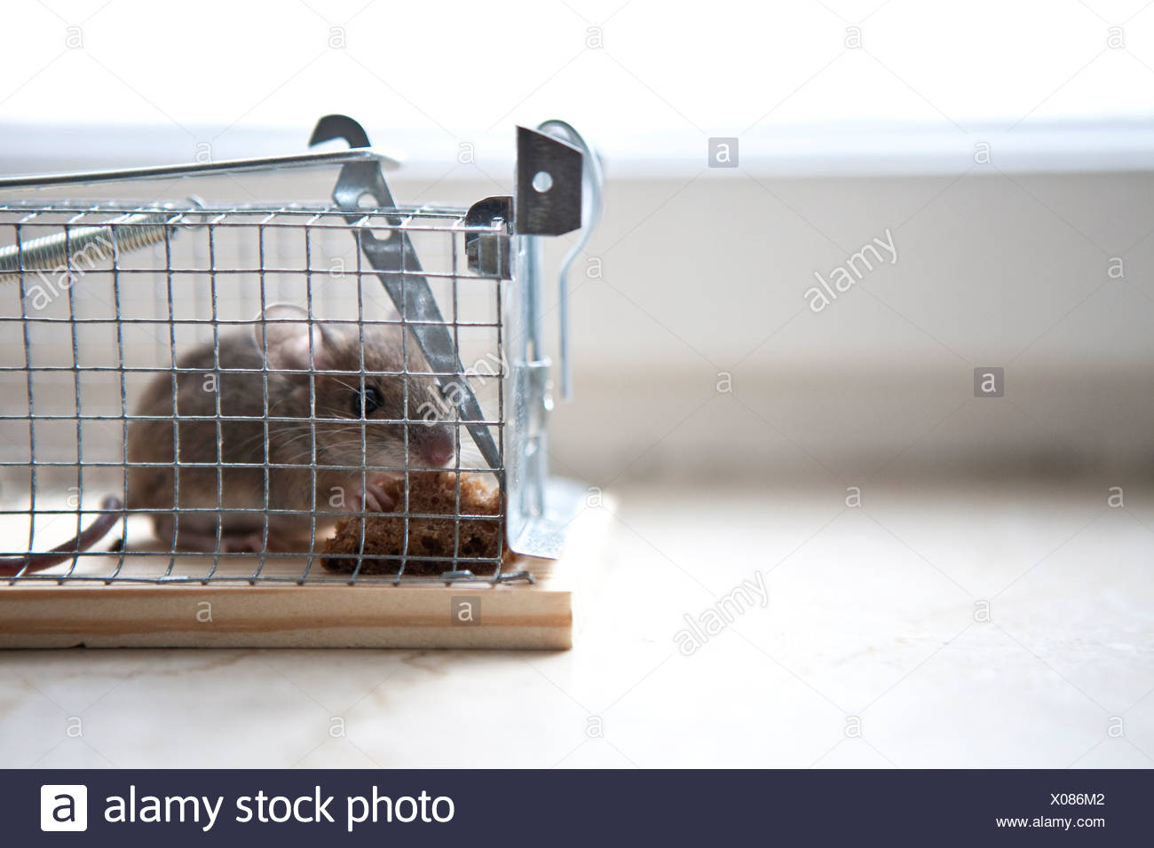Mouse in trap - Stock Image