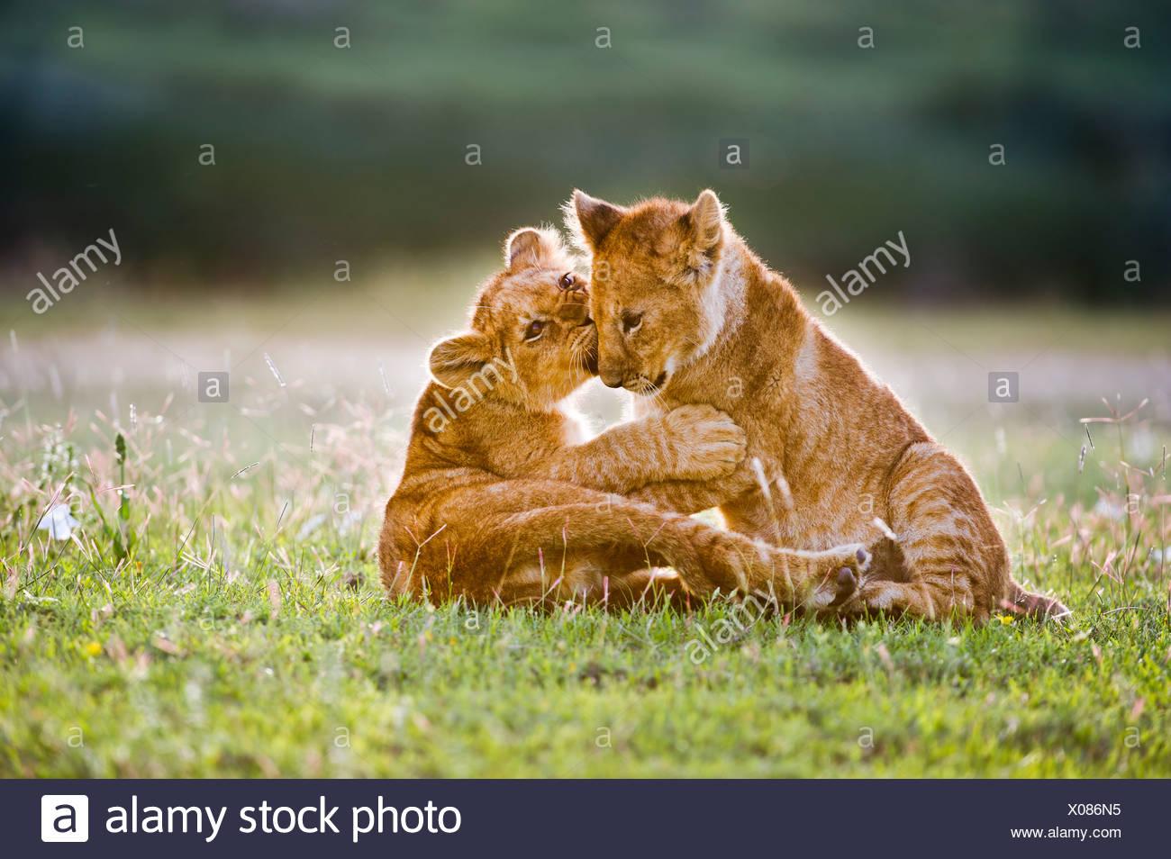 African Lion cubs around 4 month old cub playing together, Big Marsh, Ngorongoro, Tanzania - Stock Image