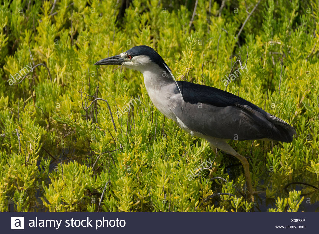Black-crowned night heron, Nycticorax nycticorax, at Kaelia Pond National Wildlife Refuge on the island of Maui in the State of Hawaii USA - Stock Image