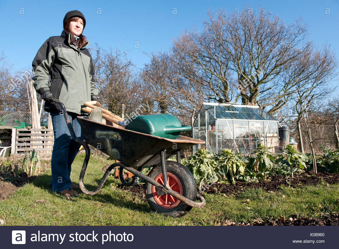 Young woman with wheelbarrow at allotment. winter Kent UK green gardening organic self sufficient vegetables greenhouse tools - Stock Image