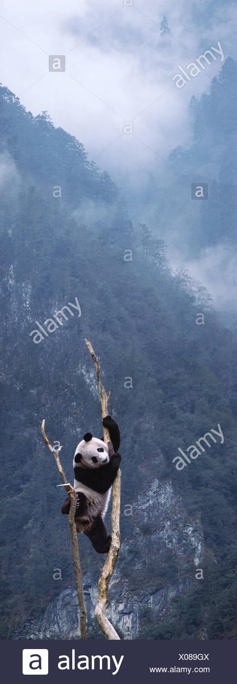 Giant panda climbing a tree Sichuan China - Stock Image