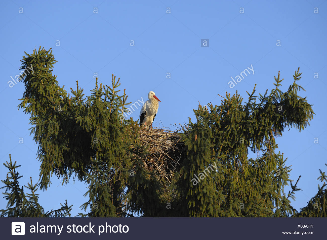 White stork, Germany Stock Photo