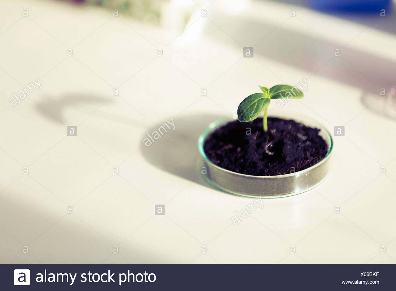 Seedling in a petri dish biotechnology concept. - Stock Image