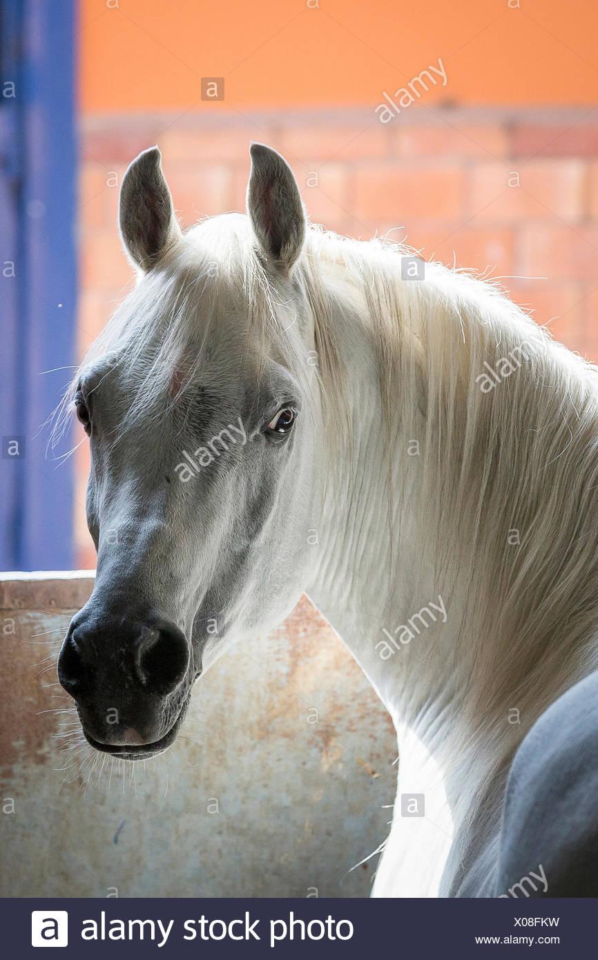 Arabian Horse. Portrait of gray stallion in a stable. Egypt Stock Photo