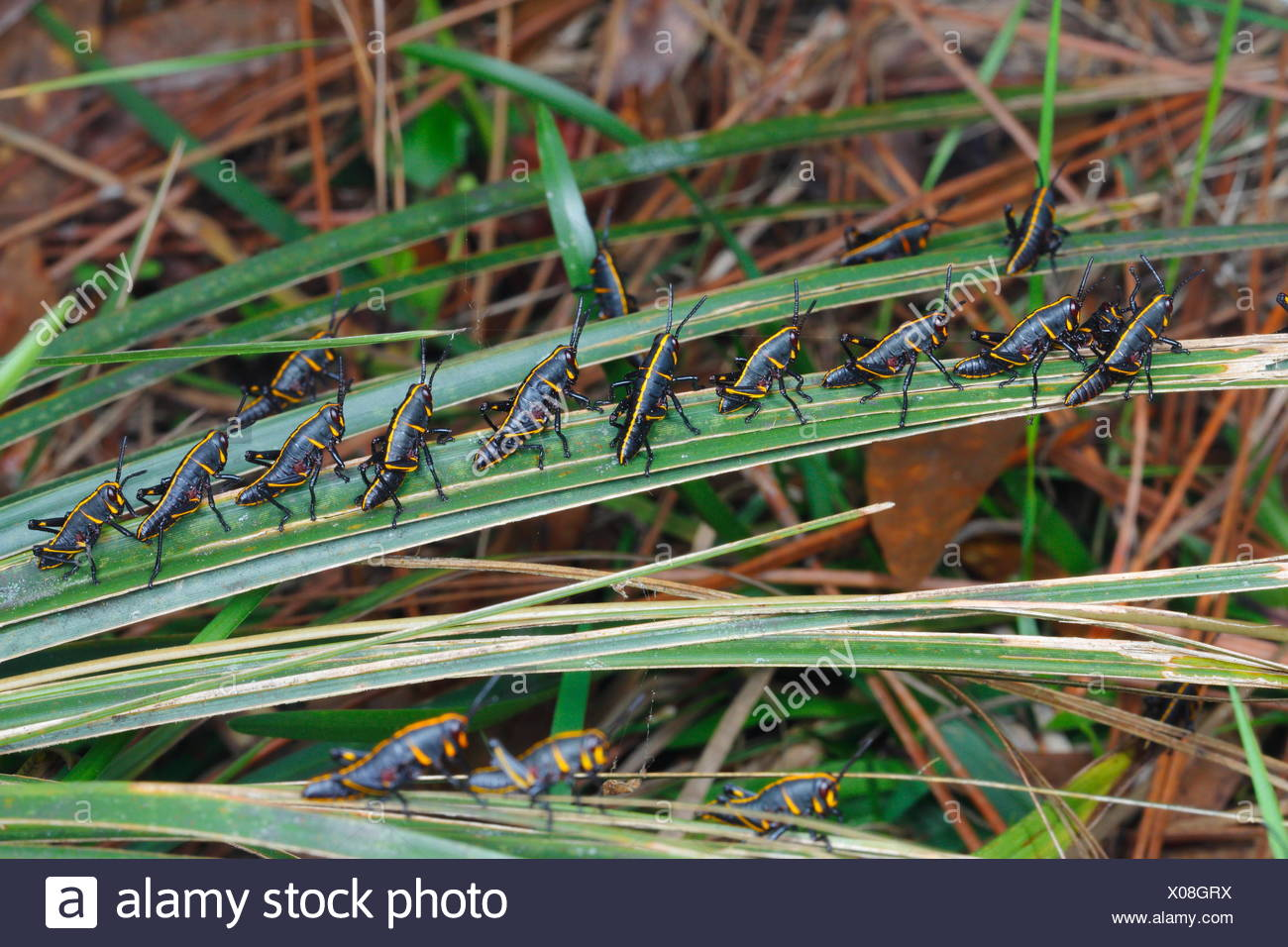 Lubber grasshopper nymphs, Romalia guttata, emerge from the ground in large groups. - Stock Image