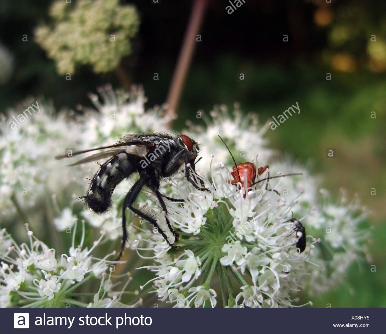 sideways shot of a flesh-fly and some beetles on white flower - Stock Image