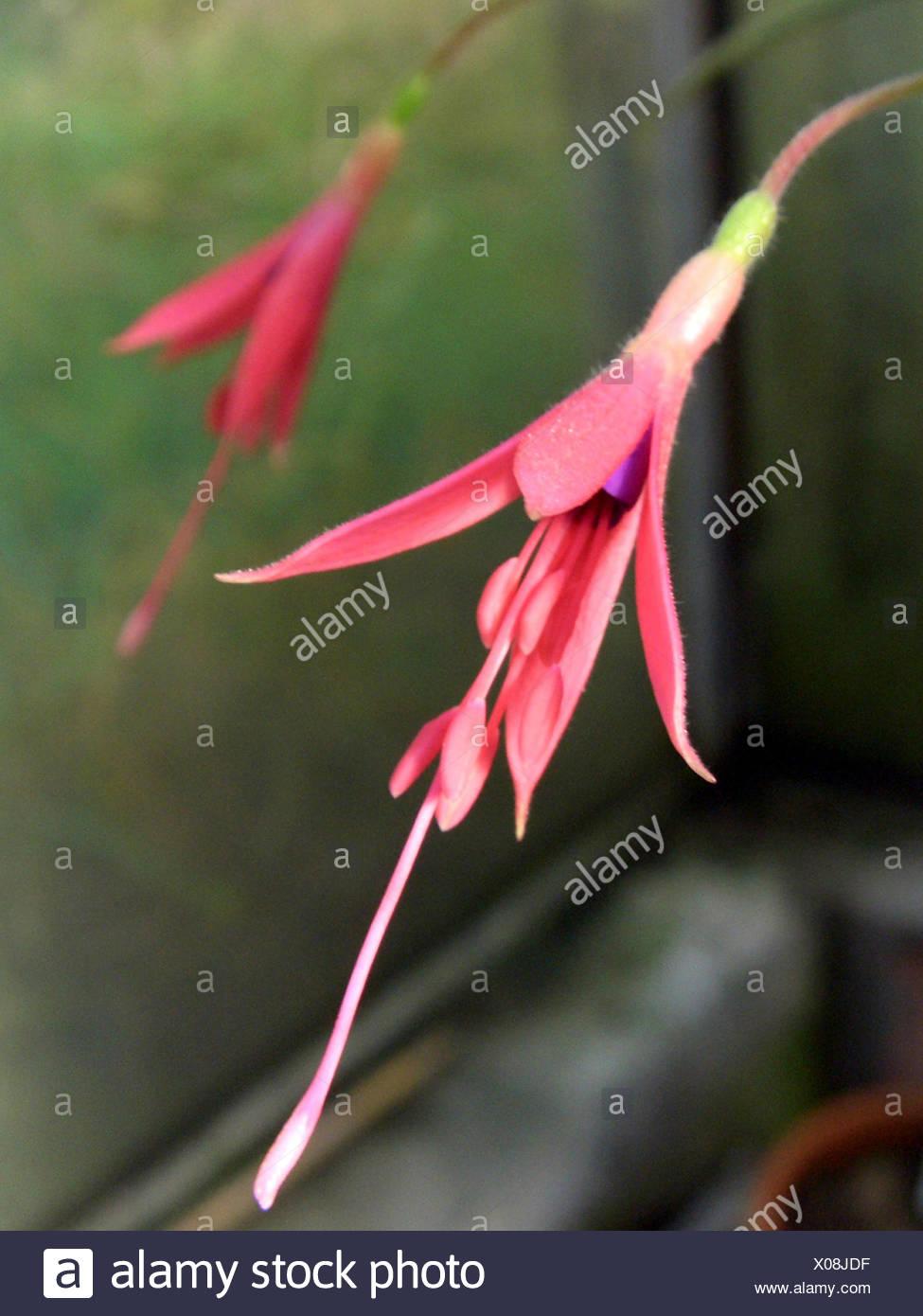 Fuchsia (Fuchsia alpestris), flowers - Stock Image