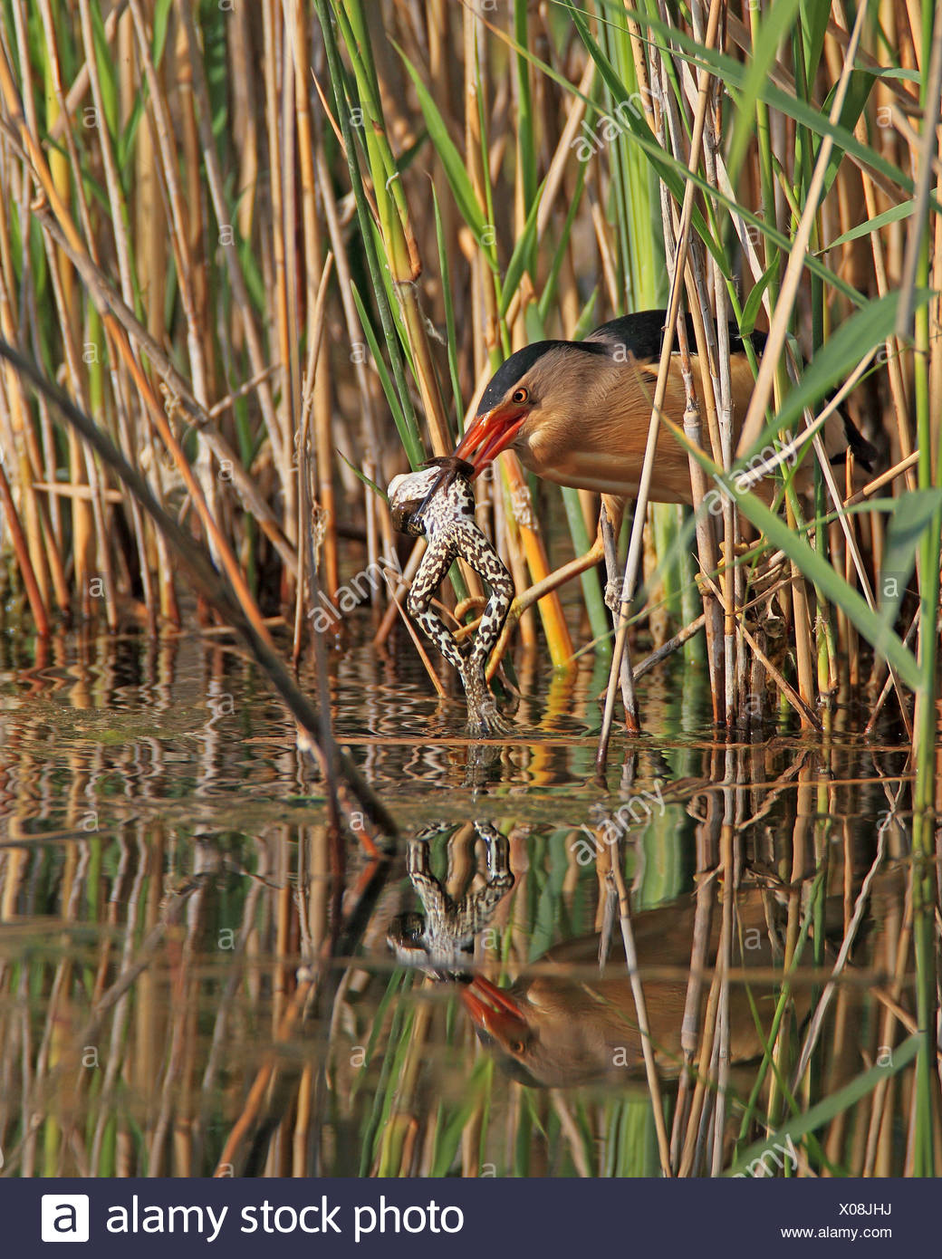 little bittern (Ixobrychus minutus), male with a frog in the beak caught from out of the reed, Greece, Kerkini-See - Stock Image