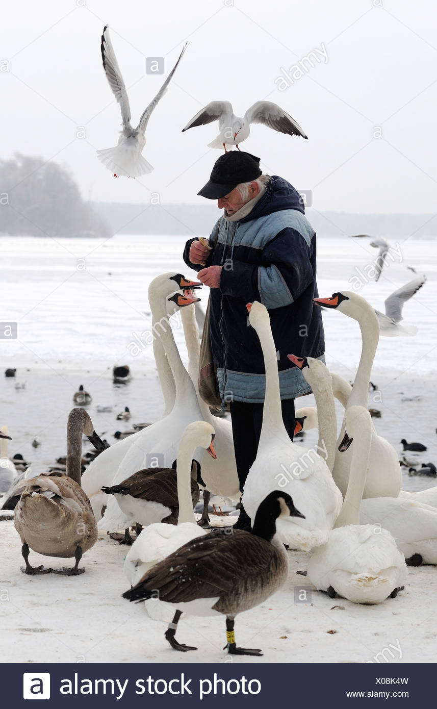 Man feeding birds at the Tegeler See, Berlin, Germany - Stock Image