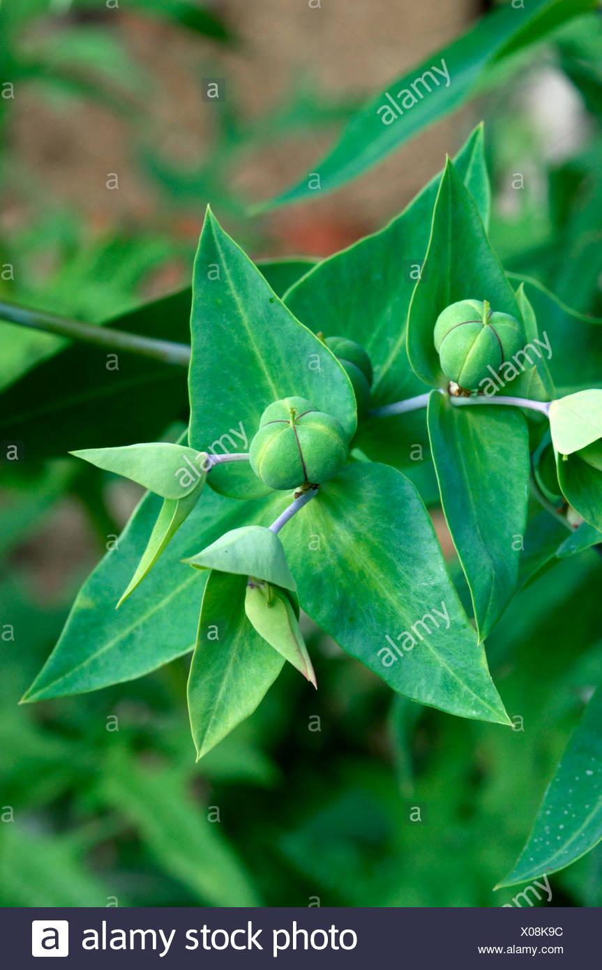 CAPER SPURGE Euphorbia lathyris (Euphorbiaceae) - Stock Image