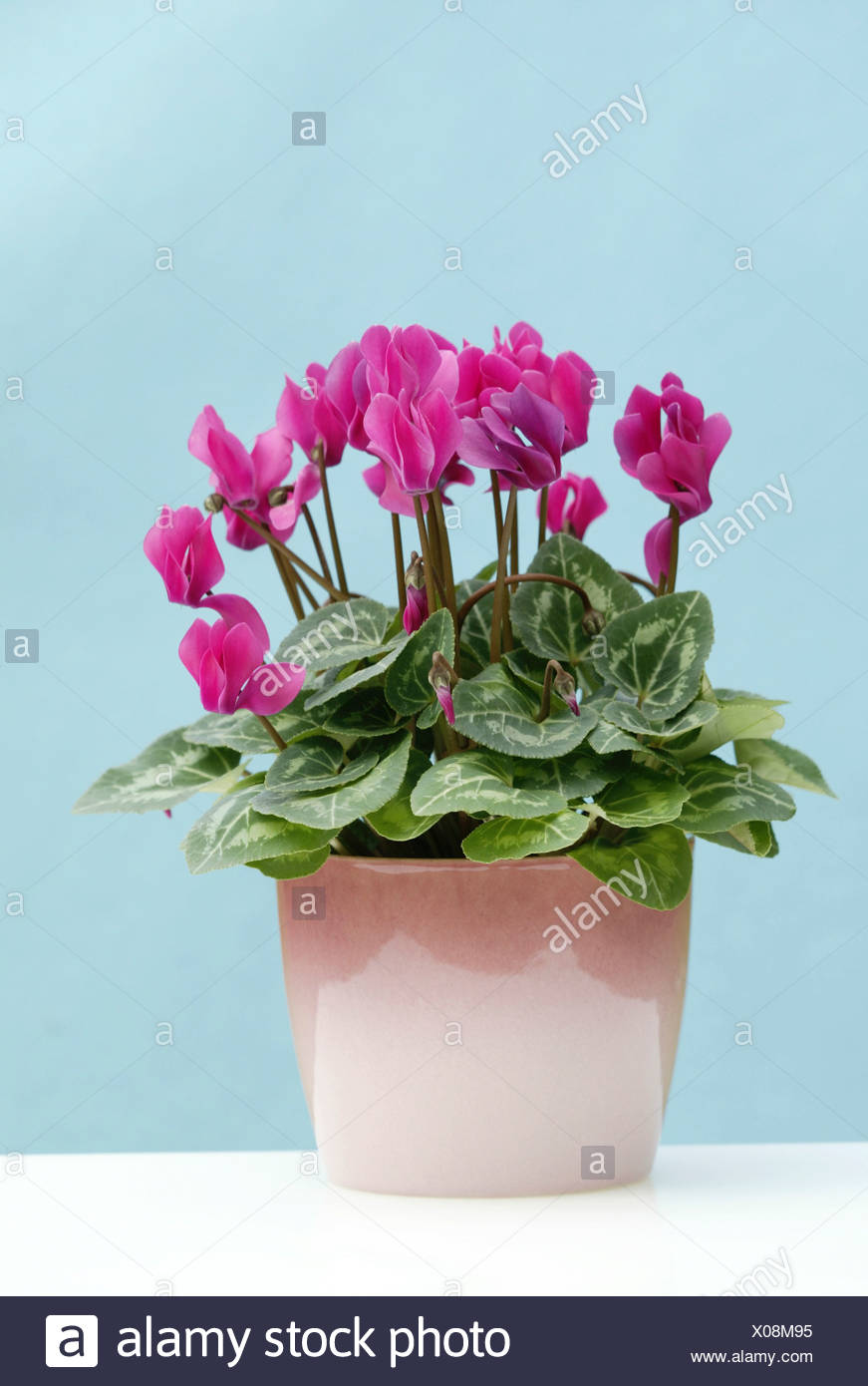 Cyclamen (Cyclamen persicum), potted plant, Heddesheim, Germany - Stock Image