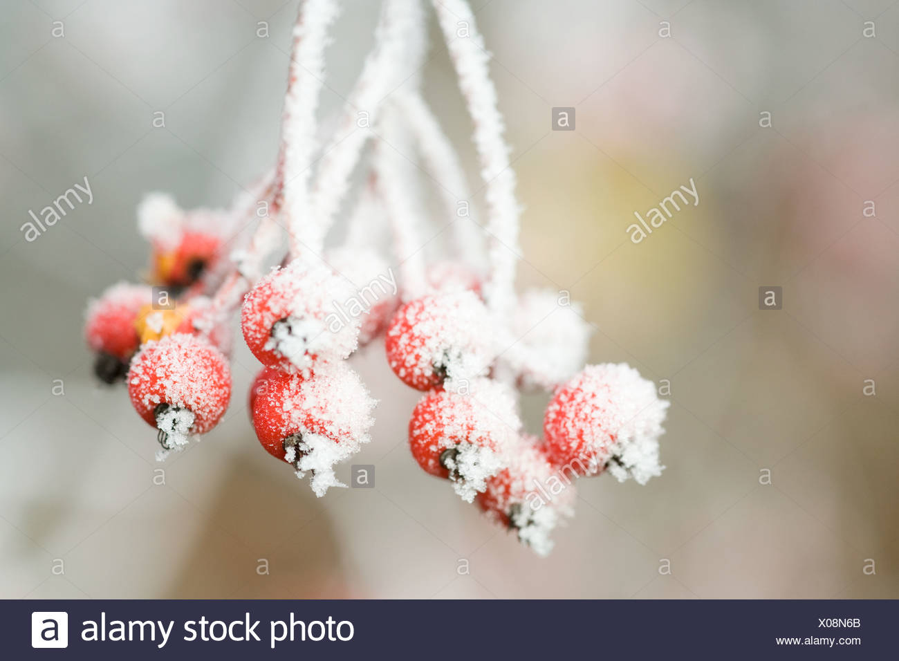 Frost on red berries - Stock Image