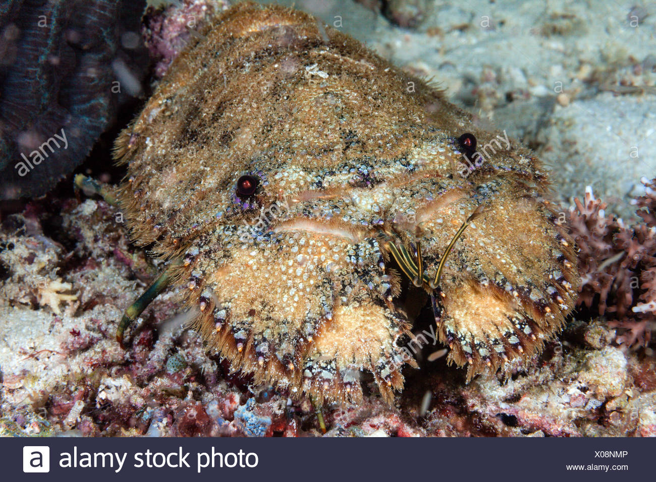 Slipper Lobster, Parrabacus japonicus, Ambon, Moluccas, Indonesia Stock Photo