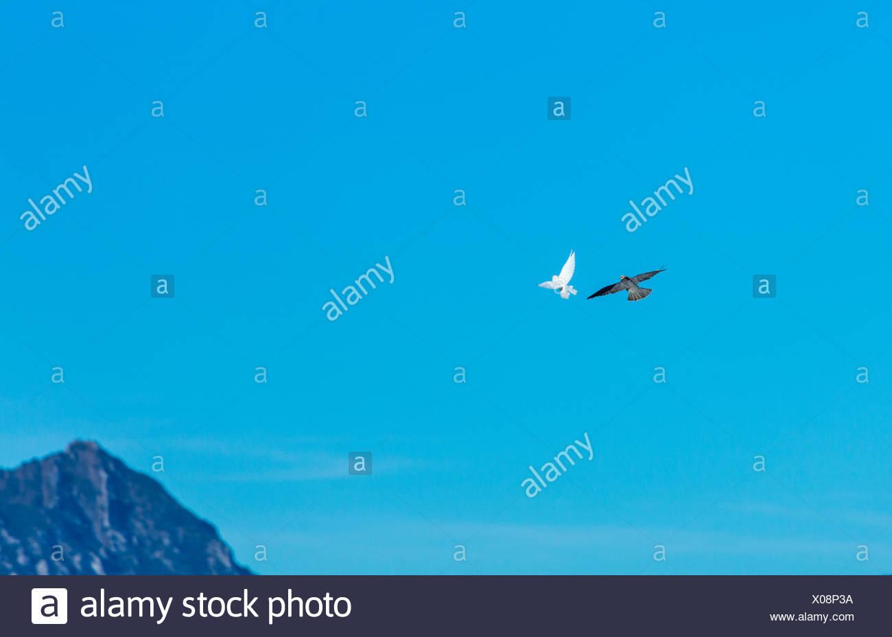 Raptors in flight - Burgos Spain - Stock Image