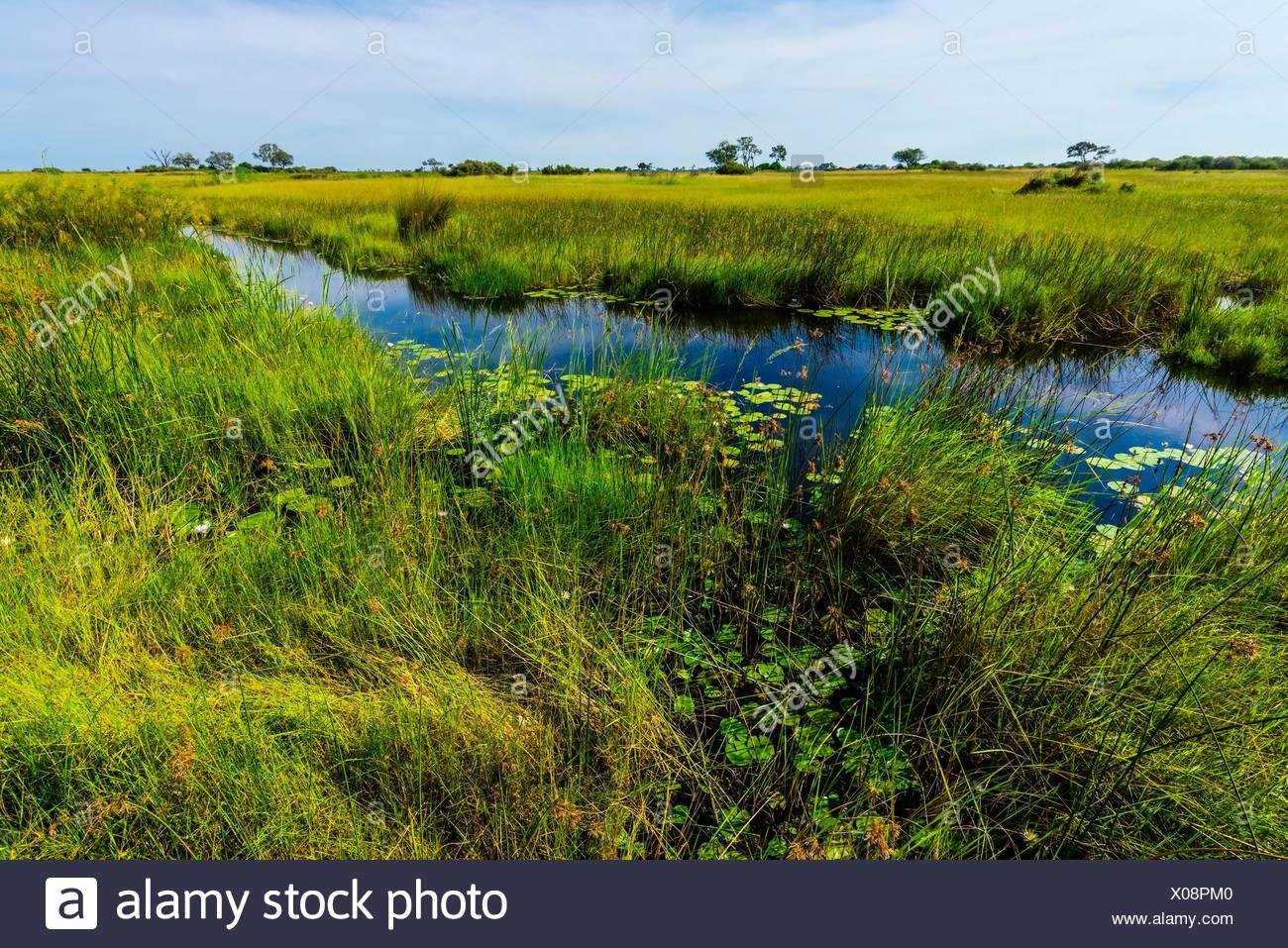 Water lilies, Lebala Camp, Kwando Concession, Linyanti Marshes, Botswana. Stock Photo