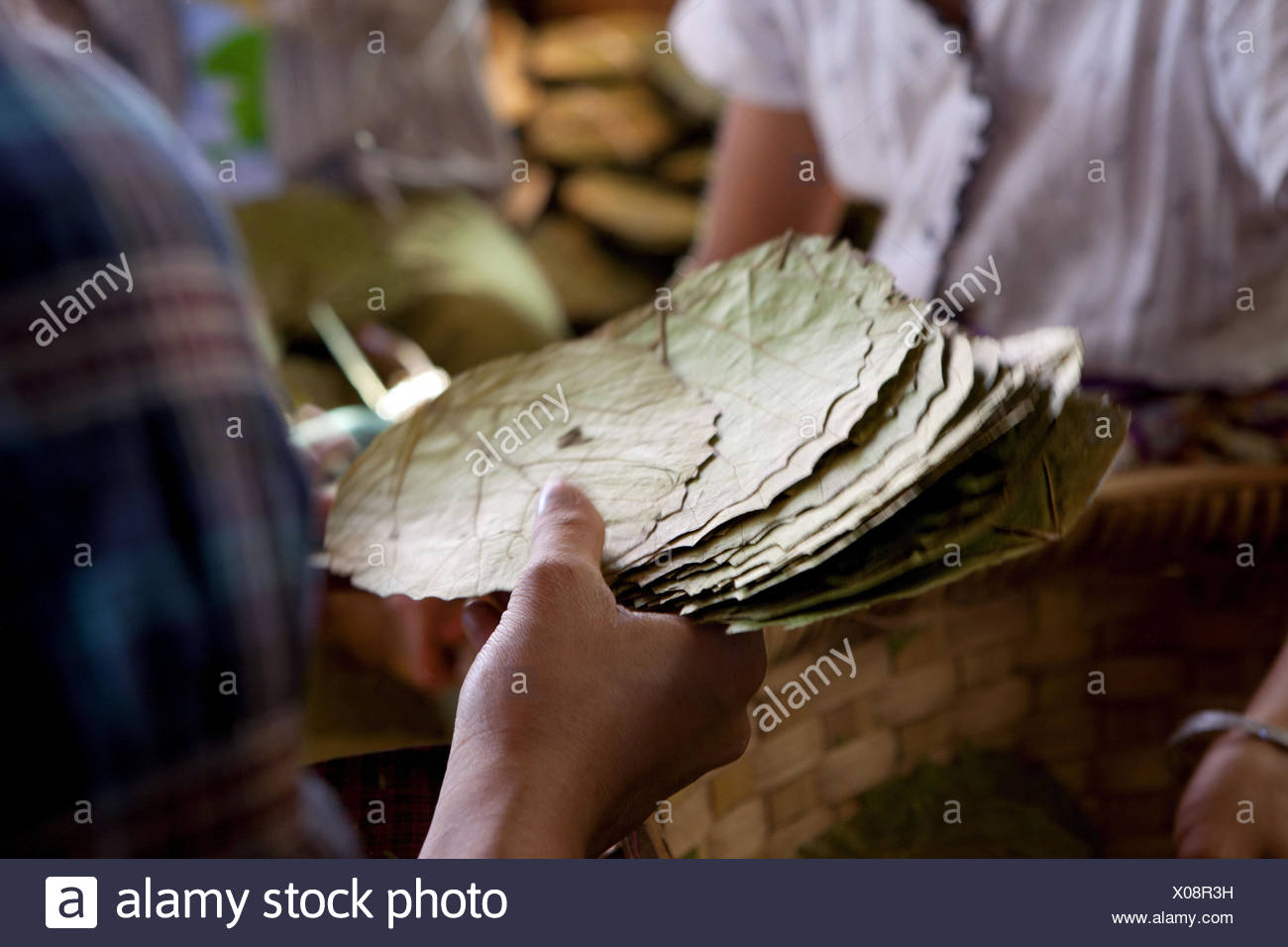 Myanmar, cigar production on the Inle lake, worker, tobacco leaves, - Stock Image