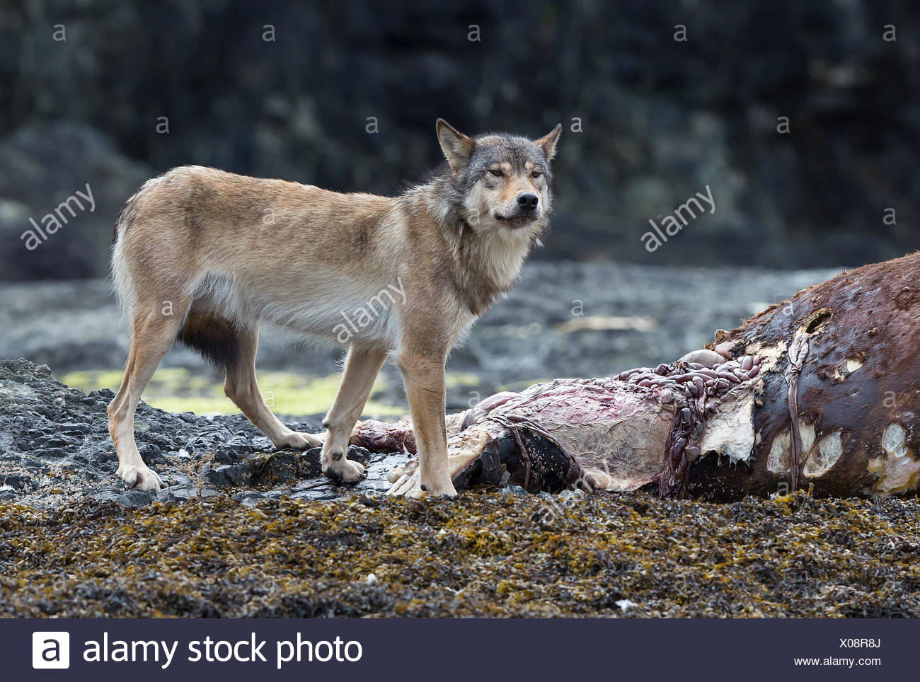A wolf feeds on the dead carcass of a Stellar sea lion washed up on an island near Kyuquot, Vancouver Island, British Columbia, Canada - Stock Image