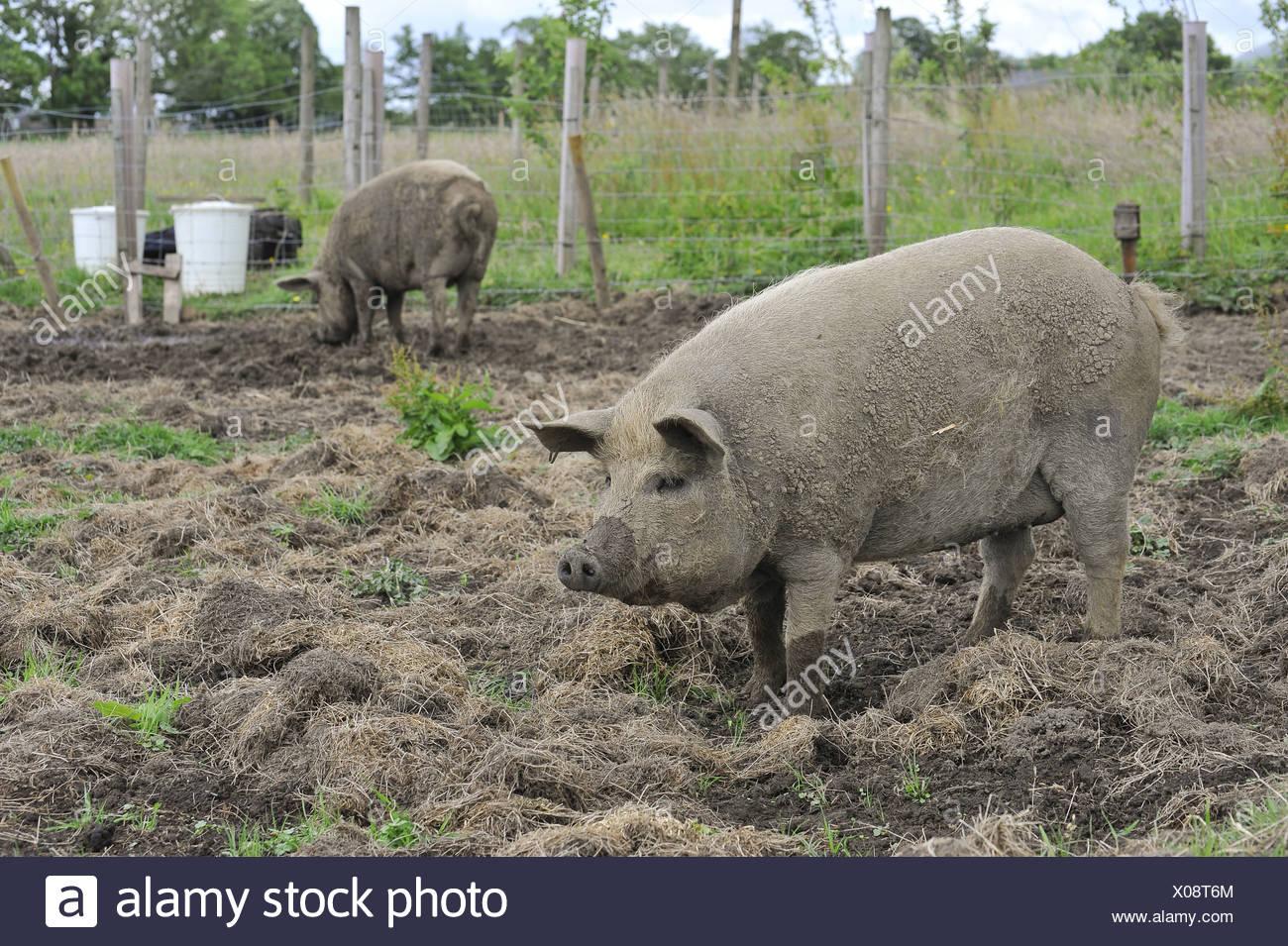 Mangalitsa Pigs domestic pig pigs hog hogs swine domestic domesticated farm farms farming omnivore omnivores mammal mammals - Stock Image