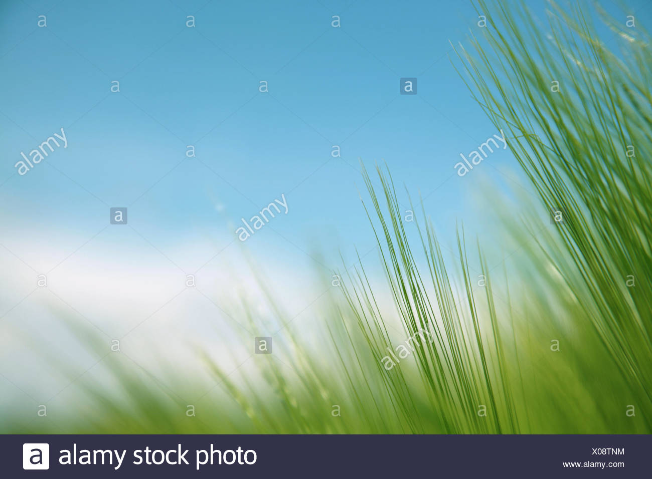 blades of grass against blue sky - Stock Image