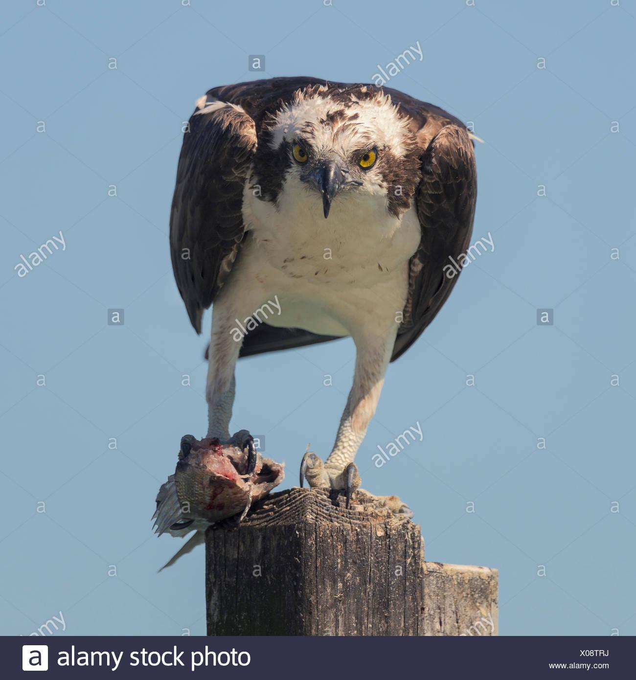 Osprey (Pandion haliaetus) standing on wooden post eating fish, Sarasota, Florida, America, USA - Stock Image