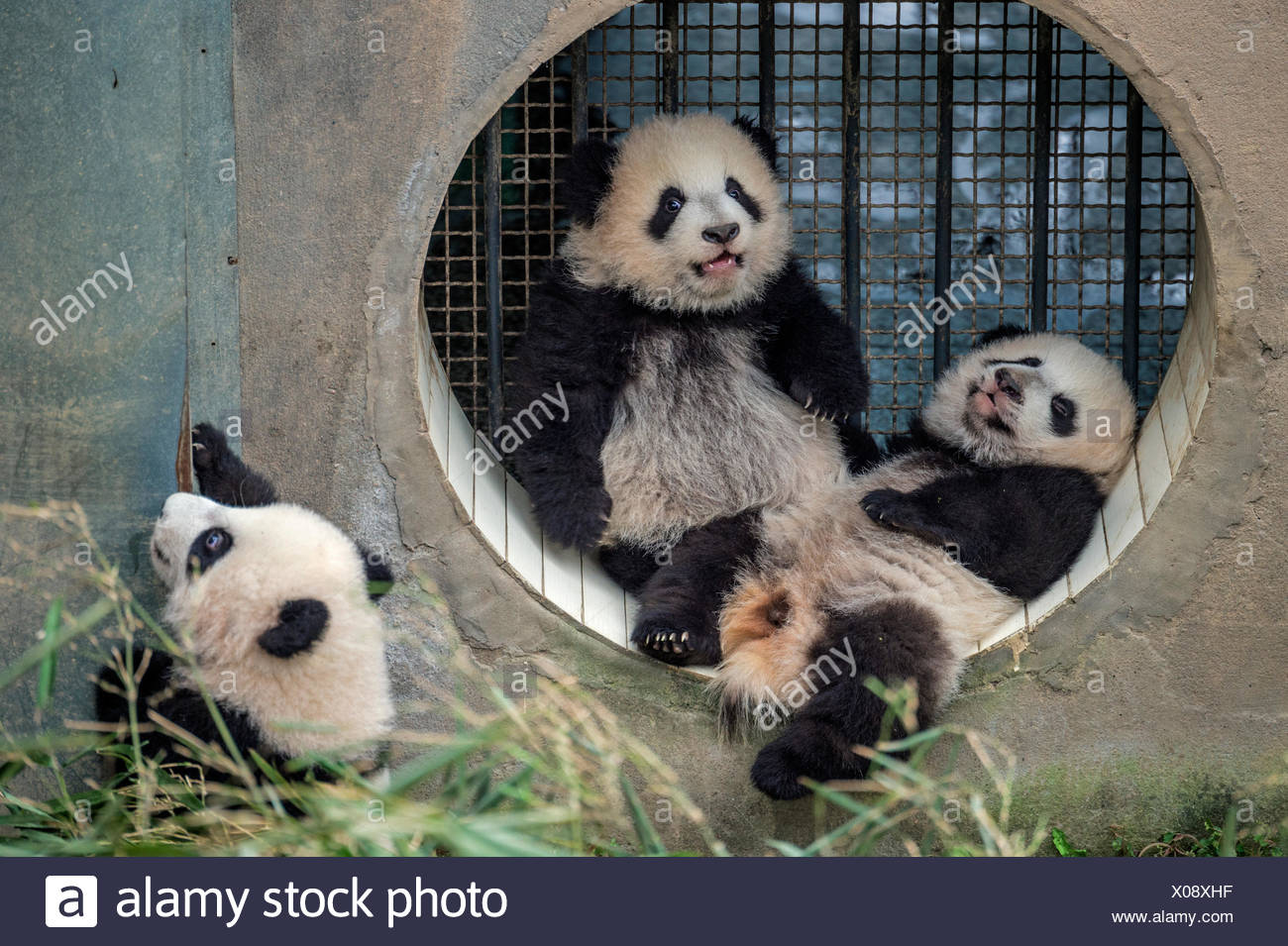 Three giant baby panda cubs raised by a single mother at the Bifengxia Giant Panda Breeding and Research Center. - Stock Image