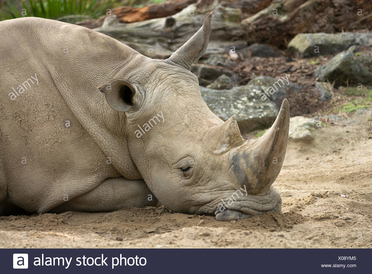 White Rhinoceros (Ceratotherium simum), asleep, Auckland Zoo, Auckland, North Island, New Zealand - Stock Image