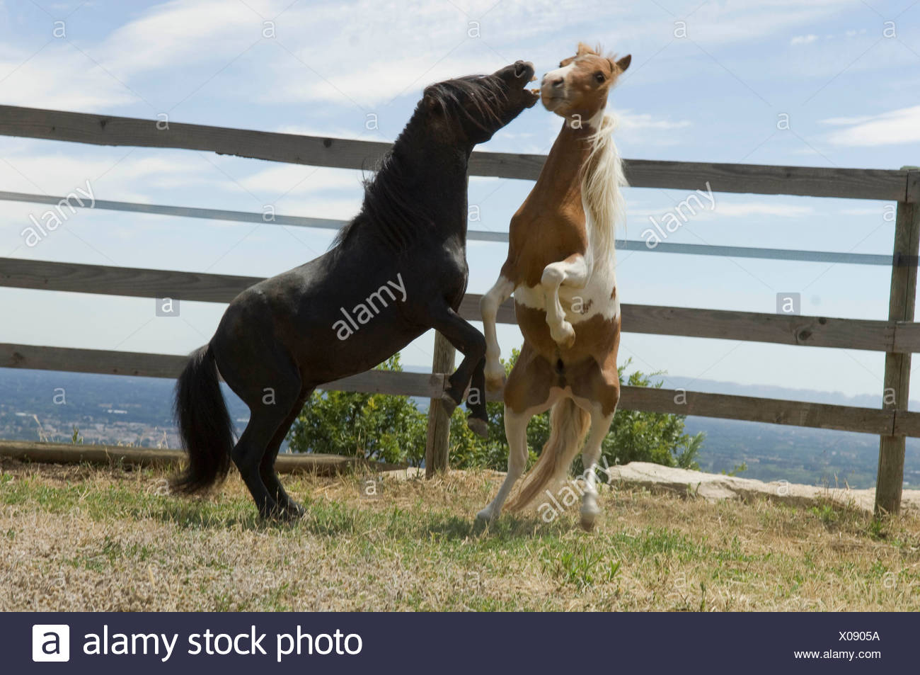 Two miniature horses frolicking - Stock Image