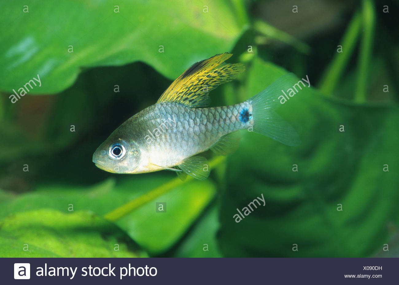 draped fin barb (Oreichthys spec. Sail Fin), male - Stock Image