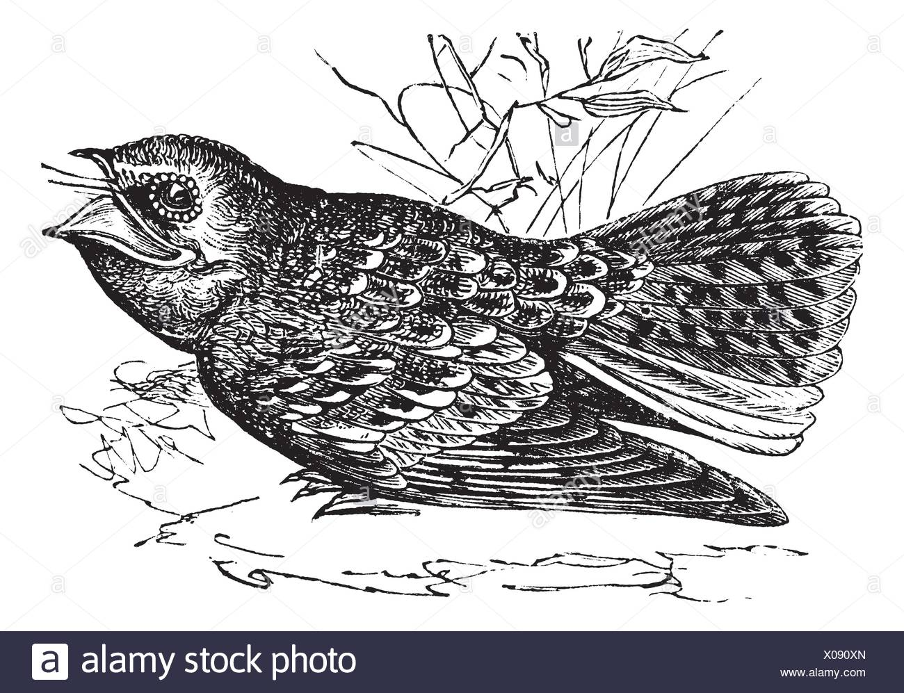 Widow Birds Stock Photos Images