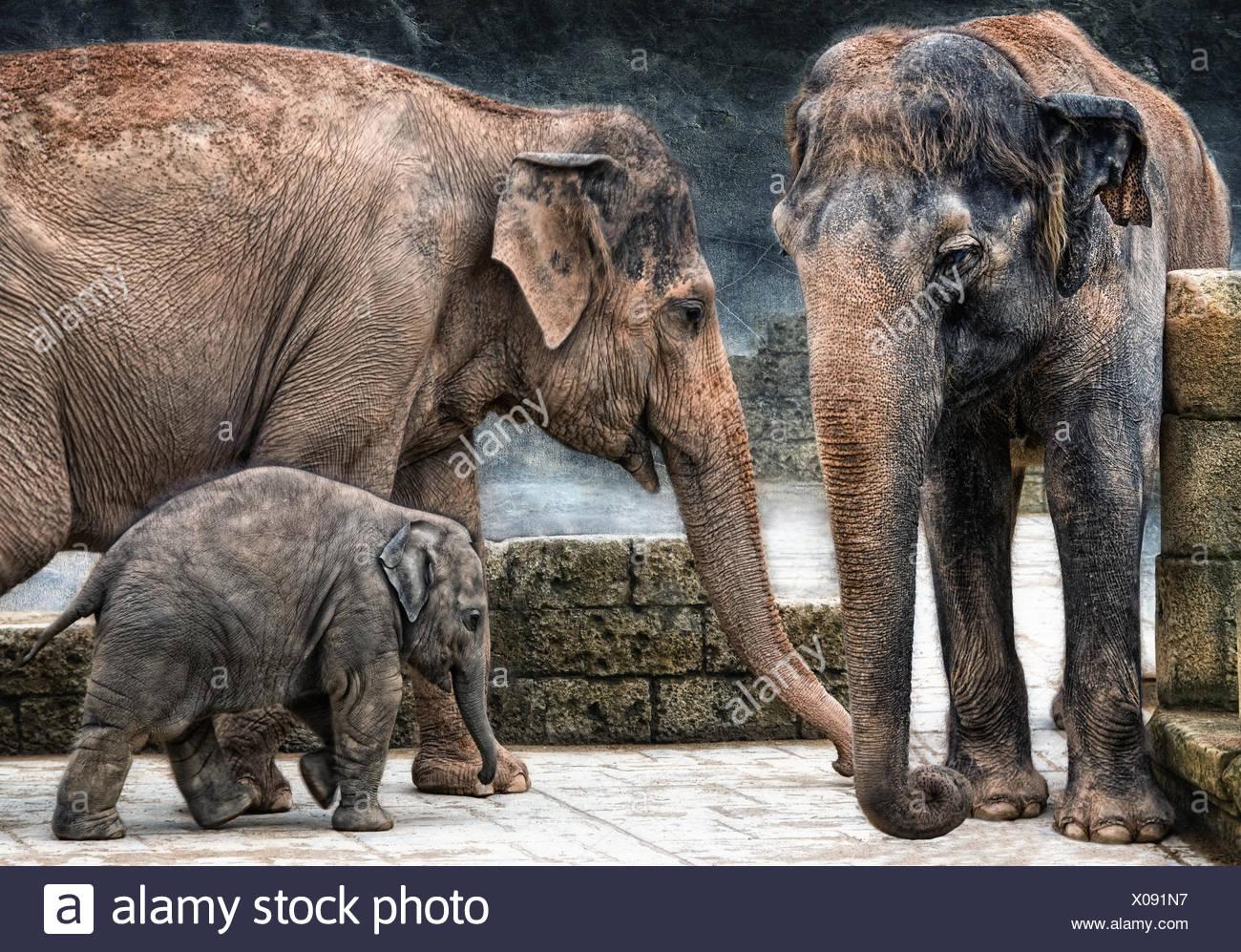 asian elephantidae - Stock Image