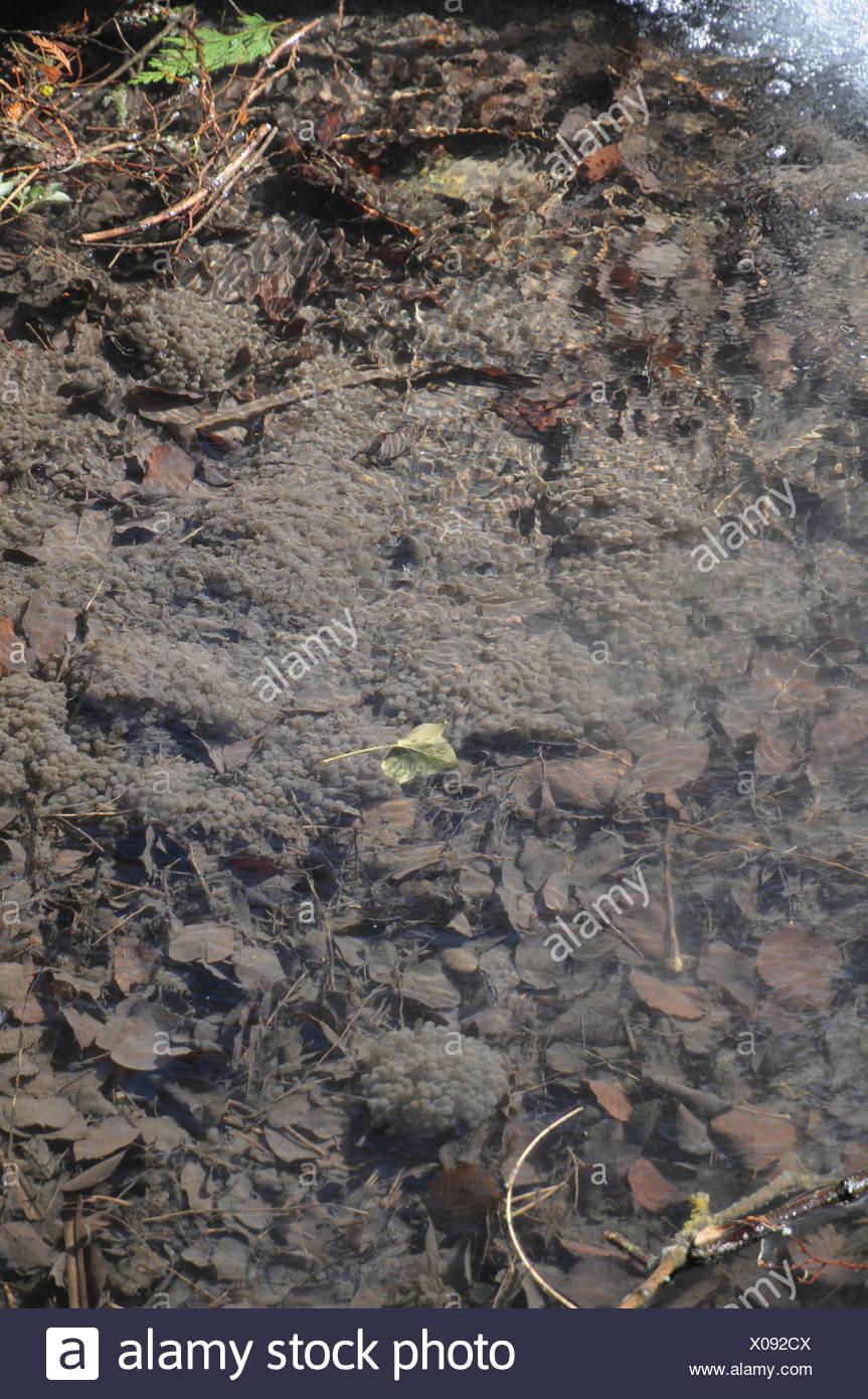 Frog-spawn - Stock Image