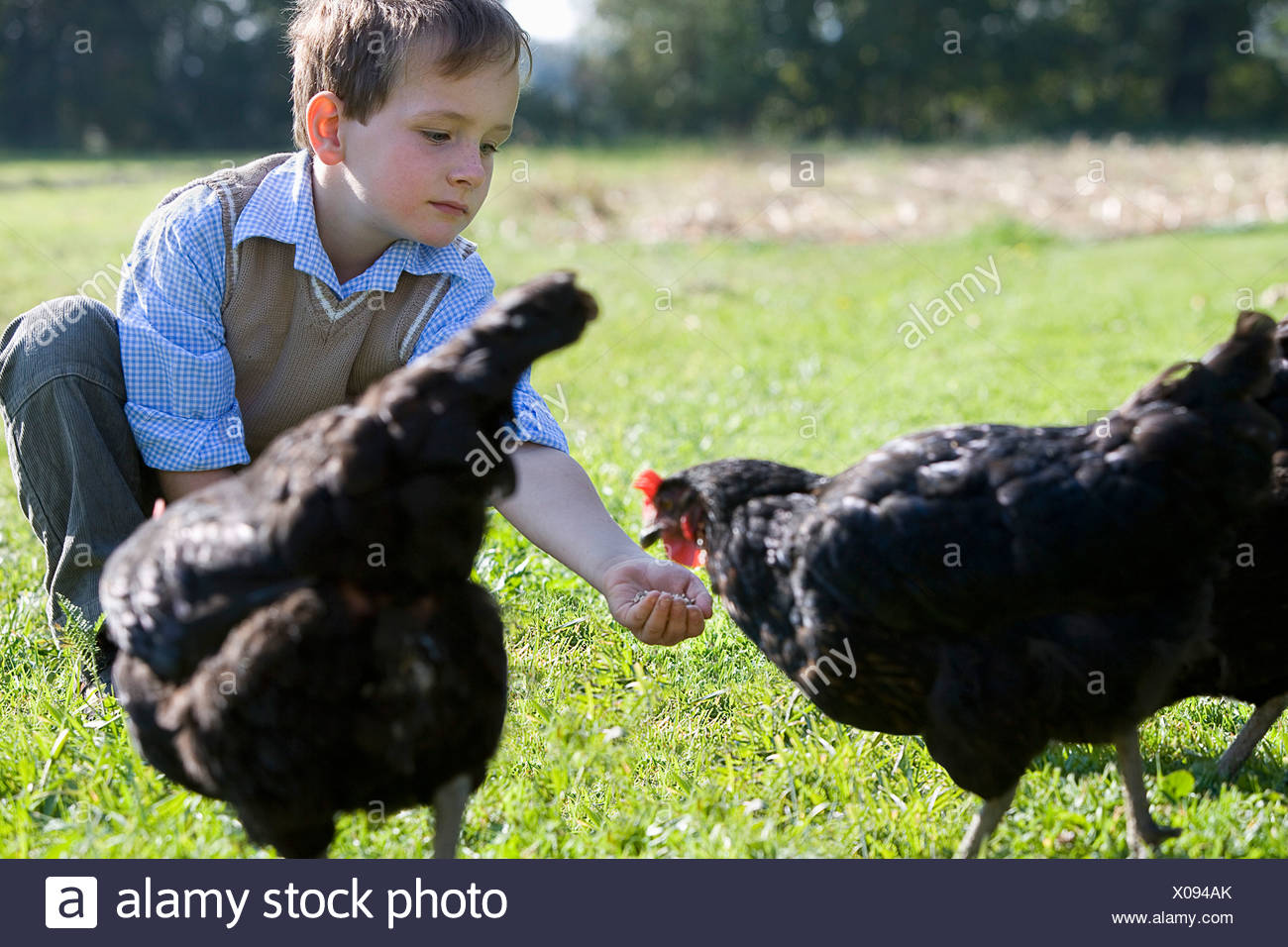 young boy feeding chicken - Stock Image
