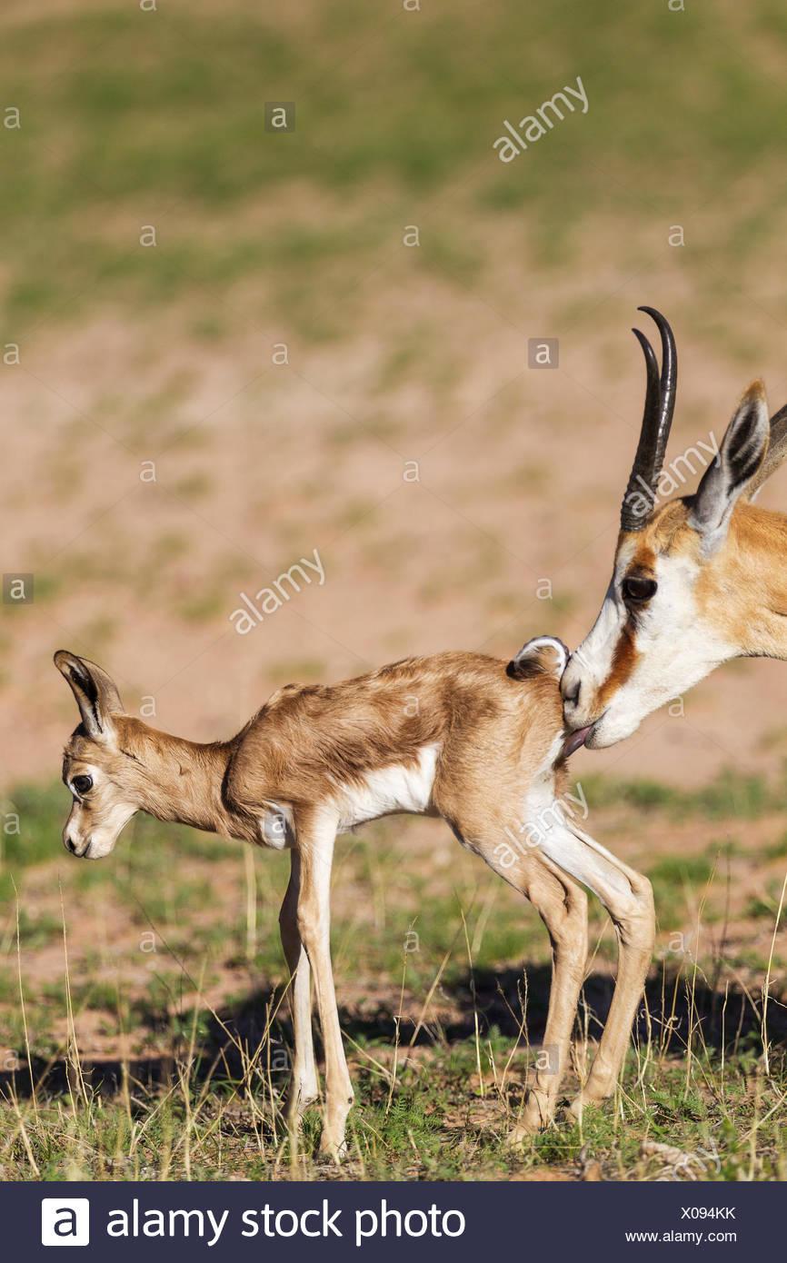 Springboks (Antidorcas marsupialis), ewe cleans newborn lamb, during the rainy season in green surroundings, Kalahari Desert - Stock Image